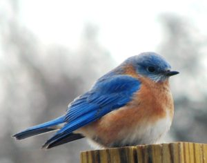 Male_Eastern_Bluebird_from_below