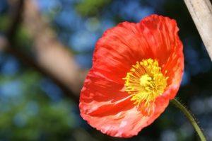 poppy-367459_960_720 (2) (500x332)